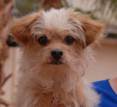 Picasso is a 7-pound cutie who longs for someone to understand him.  He is a Longhair Chihuahua & Terrier mix, 5 years of age and neutered, ready for adoption at Nevada SPCA (www.nevadaspca.org).  Picasso was at another shelter that asked for our help because he had been abused.  A very gentle and experienced home is needed for his continuing improvement.  We believe Picasso will do best with a big sister or brother dog to help him adjust and bloom.