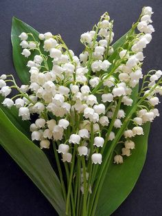 Lily of the Valley                                                                                                                                                      もっと見る