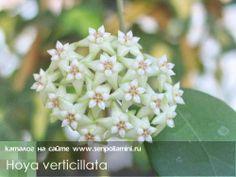 Hoya_verticillata.jpg (500×375)