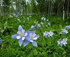 """Colorado Columbine.  The heroine of Zane Grey's novel, The Mysterious Rider (1921), was named """"Columbine,"""" after these beautiful, delicate flowers."""