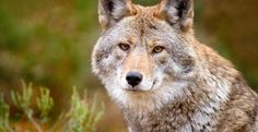 Keep Wolves Protected, and Defend the Endangered Species Act... - Care2 News Network