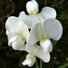 Sweet pea lathyrus latifolius pearl white grow these popular 25 sweet pea white pearl flower seeds under the sun seeds mightylinksfo