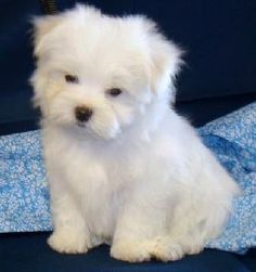 My dog of choice. Teacup Maltese.