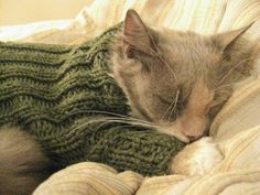 adorable. cat, cozy in a sweater