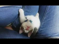 Tiny Adorable Kitten Falls Asleep Looking Up At Owner