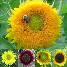 $23.00 I love sunflowers! Sunflower Seed Collection