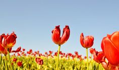 """Flower Photography, Photo of a field of Red Tulips, """" I heart Tulips"""""""
