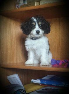 #Trouble on the bookshelf... #Cavachon cutie! #SaydeeMay