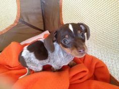 Dachshund puppy... Chocolate piebald with ticking