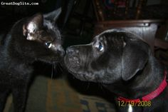 Boxador, 1 year old, Black/white spot on chest, Kodi at 8 weeks with our cat Amaya. Now Kodi's head is bigger than Amaya's whole body. They get along great.