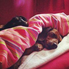 Dachsie pups - so adorable