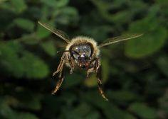 Crédito: Ted Roger Karson Este gran tiro acción capta una abeja que vuela directamente hacia la cámara. Ted Roger Karson tomó la foto en el norte de Illinois.