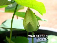 Chuehuang Lotus Yellow 2 | Nelumbo nucifera or Sacred Lotus … | Flickr Nelumbo Nucifera, Sacred Lotus, Yellow, Plants, Plant, Planets