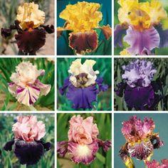 Angel Trumpet, Lavender @ Gardening catalog @ The Home Flooring dot com Angel Trumpet, Simply Beautiful, Beautiful Things, Houseplants, Perennials, Lavender, Home And Garden, Romantic, Irises