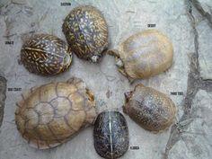 What you should know about Eastern Box Turtles: Terrapene carolina carolina Kinds Of Turtles, Cute Turtles, Box Turtles, Turtle Care, Pet Turtle, Tortoise Habitat, Tortoise Rescue, Tortoise Care, Eastern Box Turtle