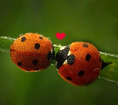 ladybugs | Love,affection,heart,purity,romantic,ladybug,ladybugs,leaf,