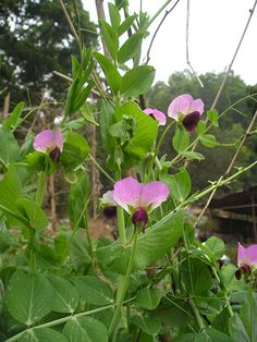 Snow pea flowers - Pea - Wikipedia, the free encyclopedia
