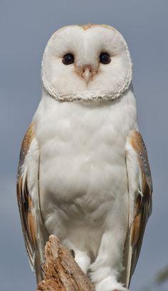 Birds of Prey - Barn Owl - by Russel Davidson Beautiful Owl, Animals Beautiful, Cute Animals, Animals Dog, Beautiful Pictures, Owl Photos, Owl Pictures, Exotic Birds, Colorful Birds