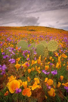 Fields of poppies and wild Hyacinth in SE Arizona ~ Storm Passing by John Williams on 500px