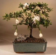 Bonsai Boy's Flowering Gardenia Bonsai Tree - Medium gardenia jasminoides: Amazon.com: Grocery & Gourmet Food