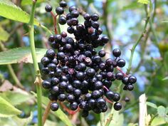 Elderberry for Cold and Flu Support
