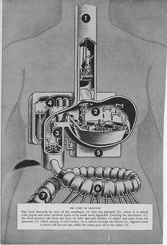 Vintage Medical Illustration - digestion