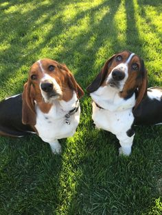 Bentlee and Birklee Thanks owner Tracy! Share your basset! Share this: Related Posts:Bentlee and BirkleeBessie! Whippet Puppies, Hound Puppies, Basset Hound Puppy, Beagle Puppy, Dogs And Puppies, Aussie Puppies, Hound Dog Breeds, Best Dog Breeds, I Love Dogs