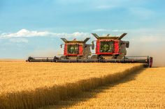 Cutting Wheat - Two large combines working side-by-side to cut a large field of ripe wheat north of Havre, Montana.