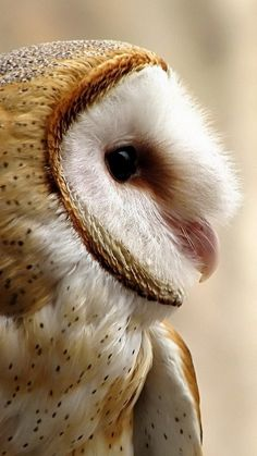 Barn owl - Night-time predator.                                                                                                                                                                                 More