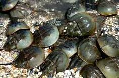 There are lot of lovely creatures in sea, most of it is still unknown to us. Such a type is this Horseshoe Crab. This Horseshoe Crab is actually...