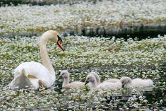 It& a beautiful world! Beautiful Swan, Beautiful World, Beautiful Gardens, Be Your Own Hero, White Spirit, Finding Neverland, Photoshop, Beautiful Creatures, Animal Kingdom