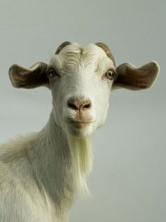 When I was in high school, my folks had ~40 Pygmy goats and Saanens. They are so full of personality.
