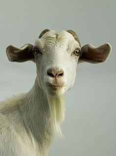 Not a cat.....but a goat.