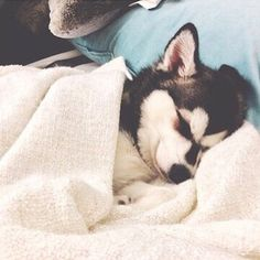 This will melt any heart! Husky puppy all tucked in and sleeping.