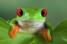 Cute lil' Cross-eyed Frog