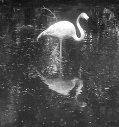 Flamingo black and white