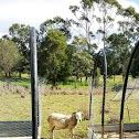 Sheep observing the work in progress in the paddock