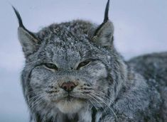 Lynx are Alaska's wild cats with long, tufted ears, long legs, and exceptionally large feet that enable them to move easily in deep snow.
