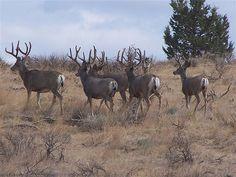 Mule deer bucks in velvet Mule Deer Buck, Mule Deer Hunting, Bow Hunting, Deer Photos, Deer Pictures, Deer Pics, Big Deer, Hunting Girls, Deer Family