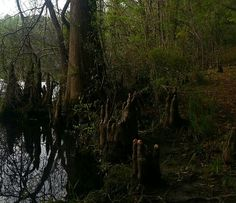 Is it me, or do these Cypress knees look like Zombie hands digging themselves out of their graves? Geez, I hafta stop watching scary movies! Ha! (Folkston, GA. 4/7/13)