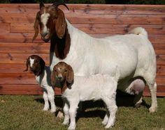 Cabra e cordeiros Boer
