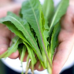 Toxins In Food Dandelion aids in digestion. - Herbs not only add flavor without adding calories, but they may also improve your overall health. Learn what types of herbs can be healing foods. Holistic Nutrition, Diet And Nutrition, Health And Wellness, Nutrition Month, Nutrition Quotes, Nutrition Activities, Kids Nutrition, Health Diet, Herbal Remedies