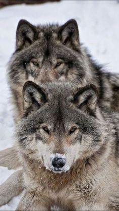3fcdc855 Lobos Animals Beautiful, Beautiful Wolves, Beautiful Creatures, Wolf  Spirit, Spirit Animal,