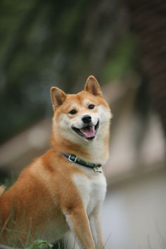 Shiba Inu's cute smile :-)