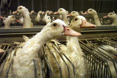 Foie gras, or duck liver, is a French luxury cuisine served in the United States. The abuse suffered by animals used to make foie gras is completely abhorrent; from forced feedings to death by disease, foie gras farms display a shocking indifference to life. Help put an end to this cruelty.