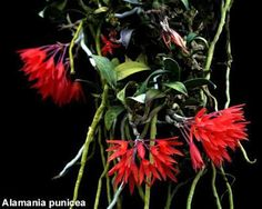 ORQUIDEAS MEXICANAS: Alamania punicea - E