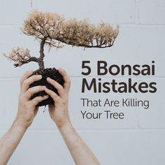 The learning curve is fraught with frustrating and dead trees for bonsai beginners. Here are 5 mistakes you might be making that could spell the demise of your miniature tree. Buy Bonsai Tree, Bonsai Tree Types, Bonsai Tree Care, Bonsai Trees, Bonsai Pruning, Pruning Roses, Jade Bonsai, Juniper Bonsai, Wisteria Bonsai