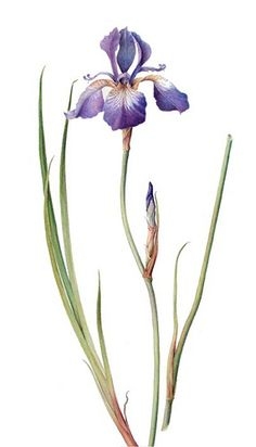 Blue iris I Marianne Grundy-van Es Iris Flowers, Botanical Flowers, Botanical Prints, Iris Tattoo, Watercolor Cards, Watercolor Flowers, Watercolor Paintings, Iris Painting, Painting & Drawing