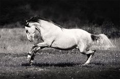 PRE Andalusian stallion Karplan AR