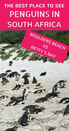 Are there penguins in South Africa? Yes! Boulders Beach near Cape Town and Betty's Bay are two penguin hot spots. But which is best? Click to find out